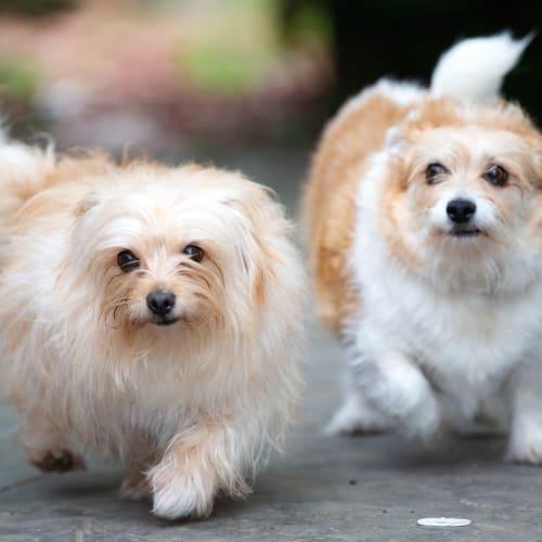 Gemma & Monkey Santiago - Jack Russell Terrier x Maltese Dog