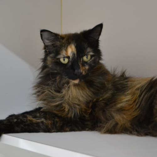 Coraline - Domestic Medium Hair Cat
