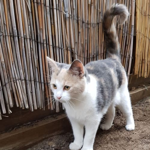 Gini - Domestic Short Hair Cat