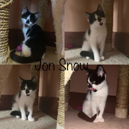 Jon Snow - Domestic Short Hair Cat
