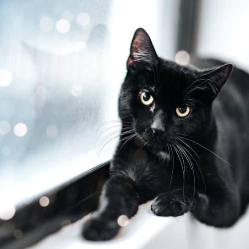 AC1157 - Taj - Domestic Short Hair Cat