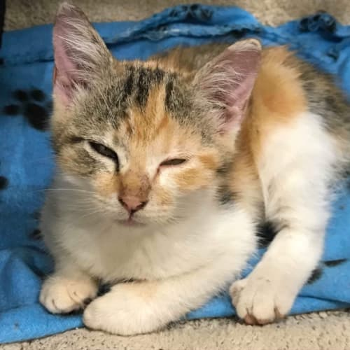 Amber  - Domestic Short Hair Cat