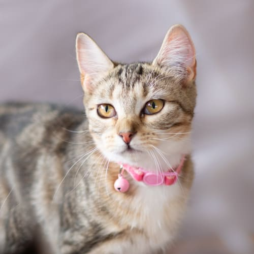 Jacquie - Domestic Short Hair Cat