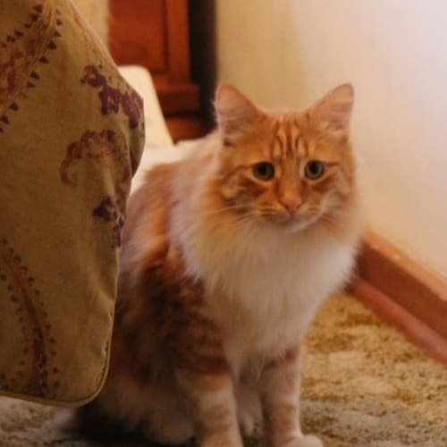 George - Domestic Long Hair Cat