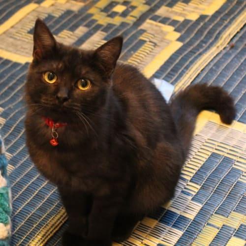 Tobias - Domestic Medium Hair Cat