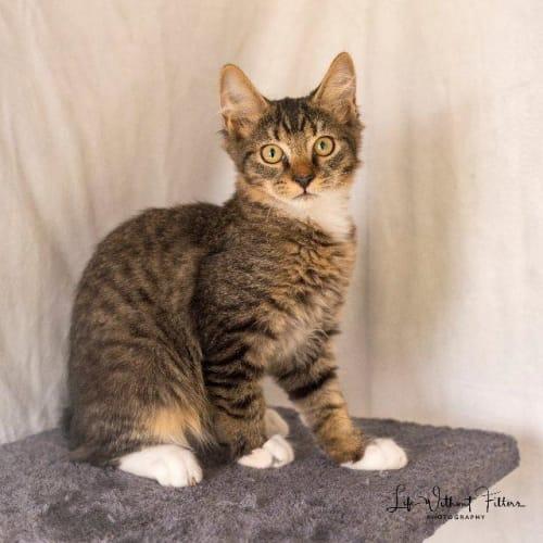Finn - Domestic Medium Hair Cat