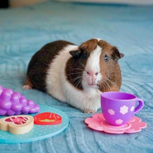 Marvin -  Guinea Pig