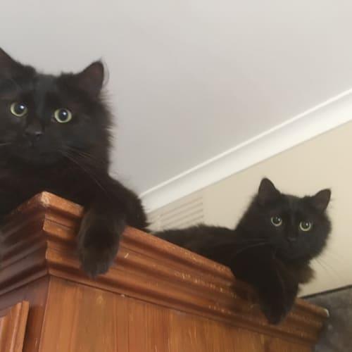 Horace - Domestic Medium Hair Cat