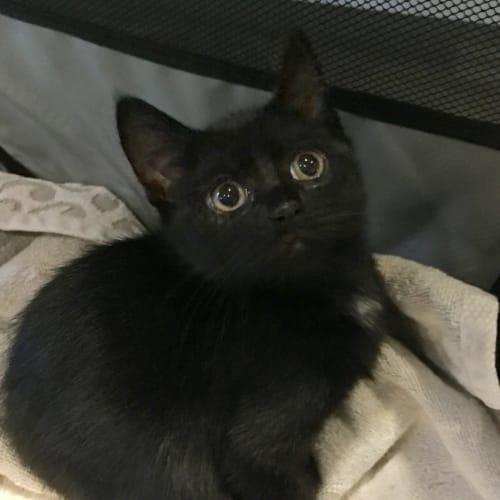 Jacob - Domestic Short Hair Cat