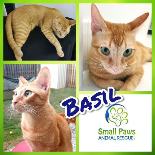 Basil - Domestic Short Hair Cat