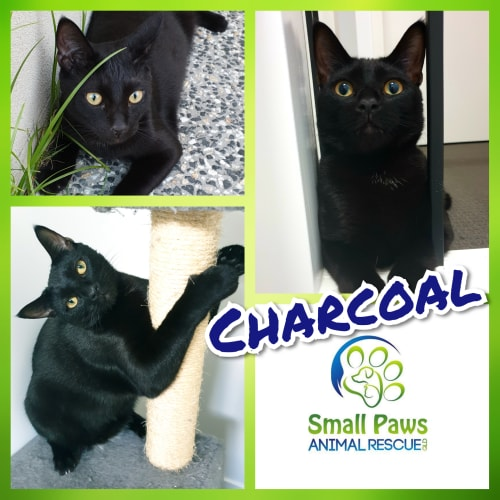 Charcoal - Domestic Short Hair Cat