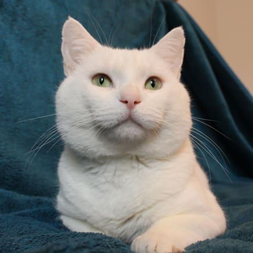 Ignacious -Meet me Neko HQ/Cat Lounge Preston - Domestic Short Hair Cat