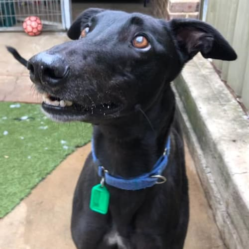 Earl - Greyhound Dog