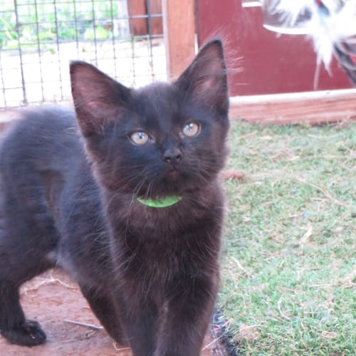 Wednesday - Domestic Medium Hair Cat