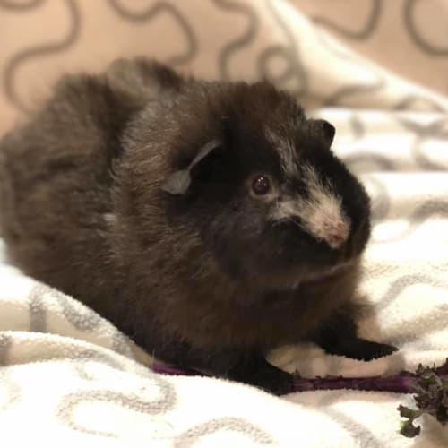 Mika - Rex Guinea Pig