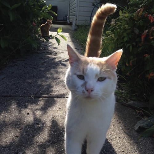 Jasper (Located in Taylors Hill) - Domestic Short Hair Cat