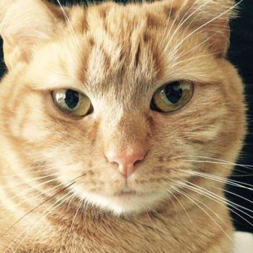 Bo Peep (Located in Footscray) - Domestic Short Hair Cat