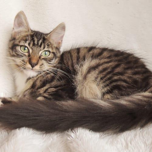 Arlo - Domestic Medium Hair Cat