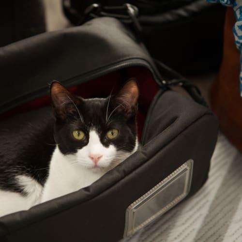 Elwood - Located in Preston - Domestic Short Hair Cat