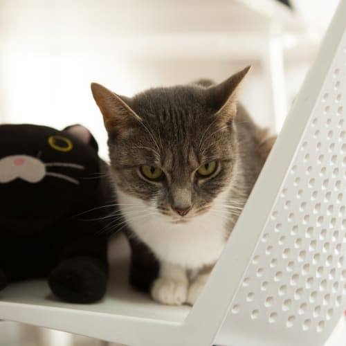 Geena -  Meet me in Cat Lounge/Neko HQ Preston - Domestic Short Hair Cat