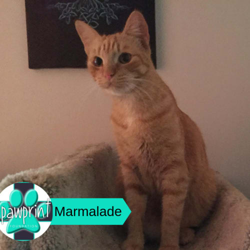 Marmalade - Domestic Short Hair Cat