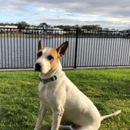 Lilly - Bull Arab Dog
