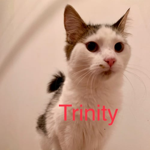Trinity (Meow Rescue) - Domestic Medium Hair Cat