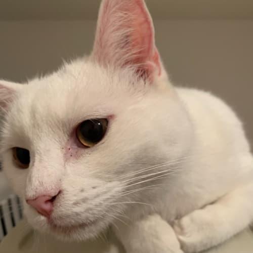 Guszle - Domestic Short Hair Cat