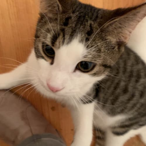 Mouse (Meow Rescue) - Domestic Short Hair Cat