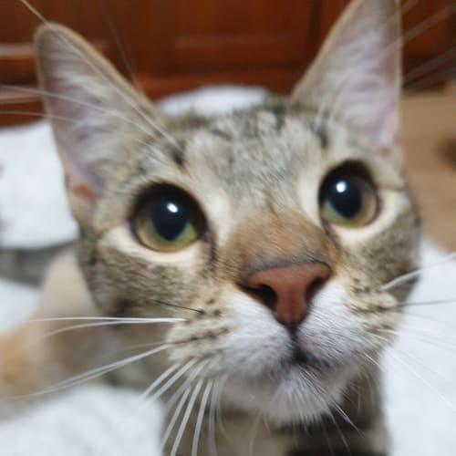 Arizona - Miss Energetic  - Domestic Short Hair Cat