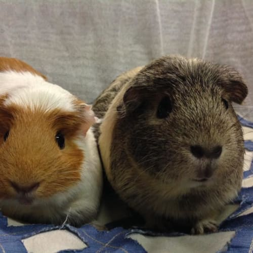 Jorje & Cheeky - Smooth Hair Guinea Pig