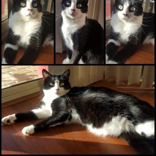 AC1111 - Mr George Pinkerton - Domestic Short Hair Cat