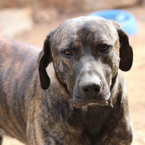 Greg - Mastiff Dog