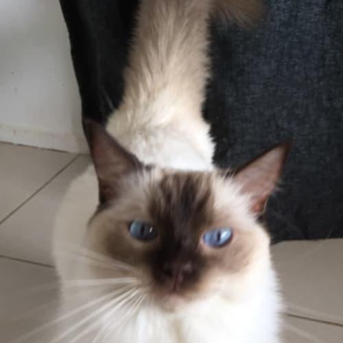 Nala (ragdoll) - Ragdoll Cat