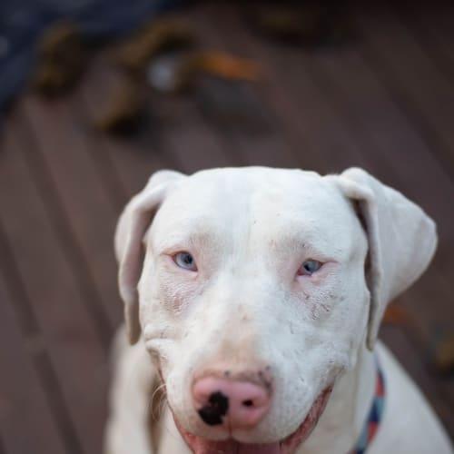 Flora - Catahoula Dog