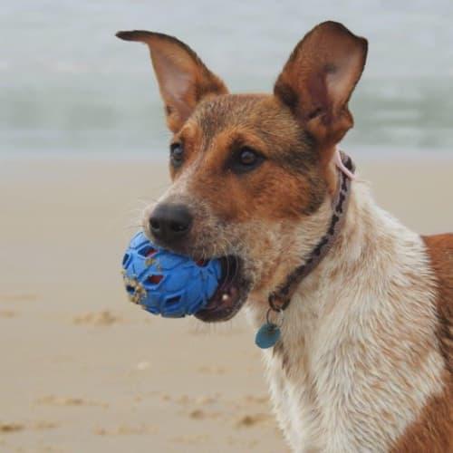 LuLu-Belle - American Bulldog x Red Heeler Dog