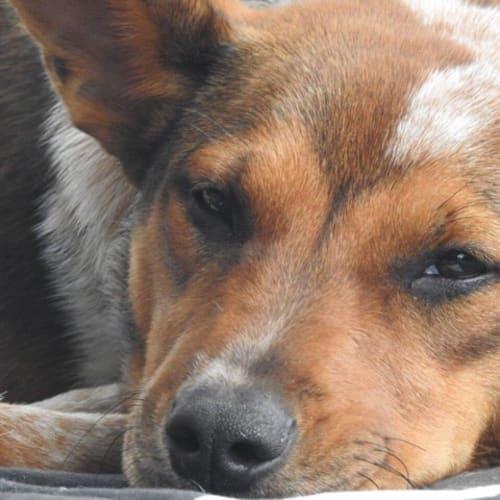Lexie - American Bulldog x Red Heeler Dog