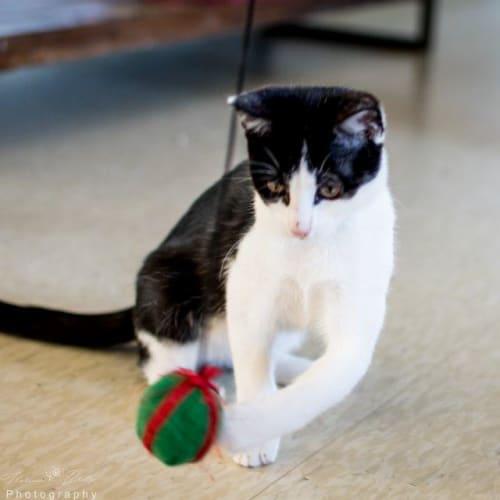 Barbara - Domestic Short Hair Cat