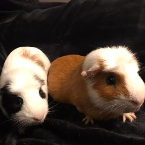 Harry and Squeak - Smooth Hair Guinea Pig
