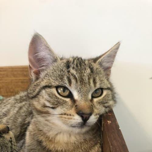 Zeb - Domestic Short Hair Cat