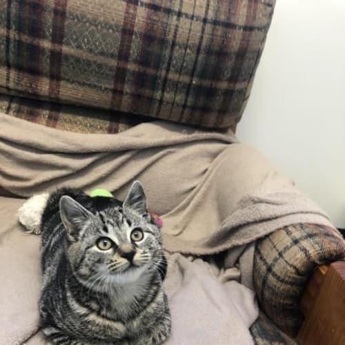 Marlene - Domestic Short Hair Cat