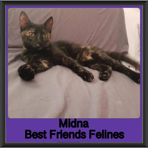Midna  - Domestic Short Hair Cat