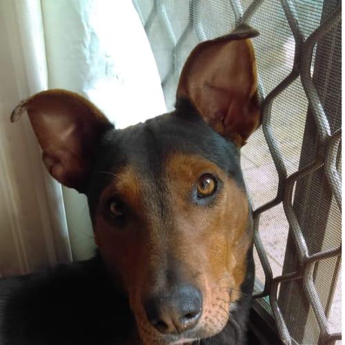 Peppa - Doberman x Kelpie Dog