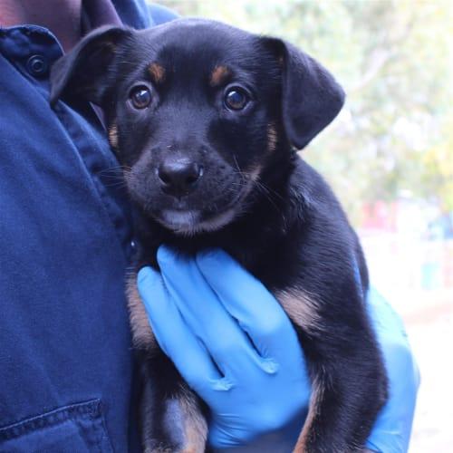 Makani - German Shepherd x Labrador Dog