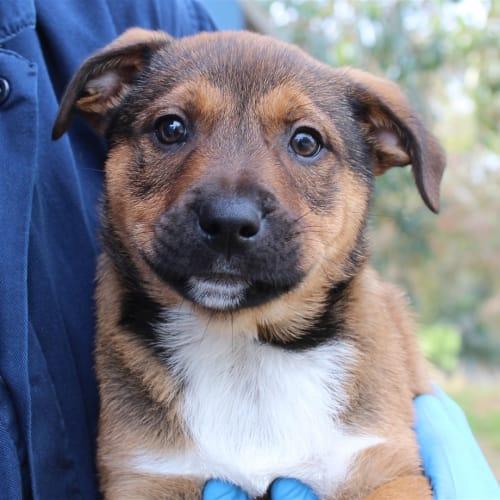 Molokai - German Shepherd x Labrador Dog