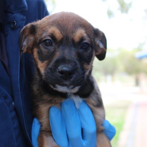 Moana - German Shepherd x Labrador Dog