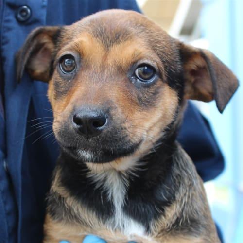 Maeve - German Shepherd x Labrador Dog
