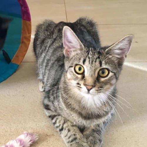 Taako - Domestic Short Hair Cat