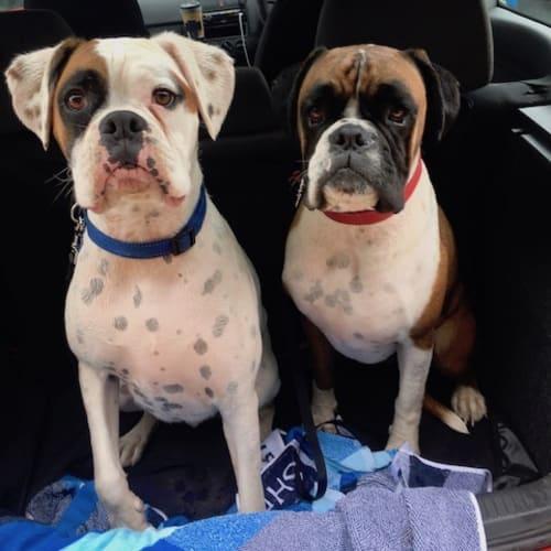 Raph & Leo - Boxer Dog
