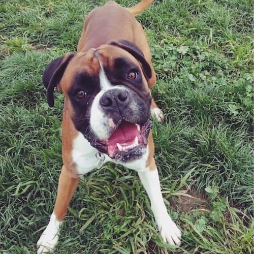 Raph (& Leo) - Boxer Dog